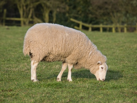 ewe grazing in field photo