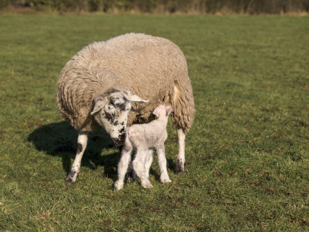 new born lamb suckling from mother Stock Photo