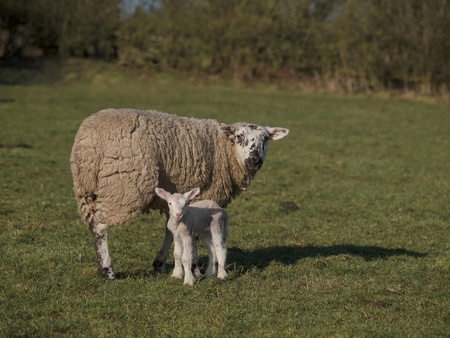 one day old lamb and mother standing in field Stock Photo