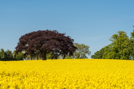 mustard field: a striking red copper beech tree in a field of yellow oilseed rape with a blue sky Stock Photo