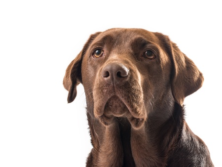 chocolate labrador on white background Stock Photo