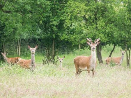 herd deer: herd of wild deer alert in woodland