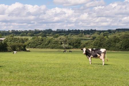 holstein: holstein milk cow standing in summer field