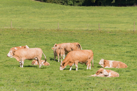 herd of simmental cattle in green meadow photo