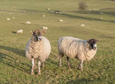 herd of sheep on hil farm in the peak district national park