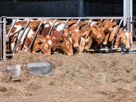 jersey cattle: heard of guernesy cattle eating hay in cowshed