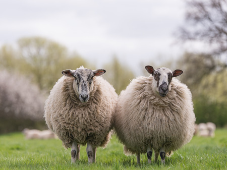two woolly sheep standing in field Stock Photo