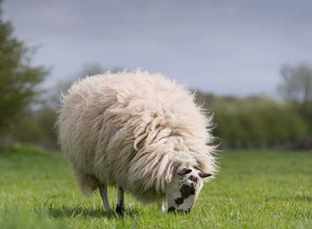 woolly: woolly sheep grazing in meadow Stock Photo