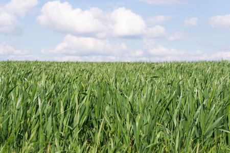 field of young wheat growing in spring Stok Fotoğraf