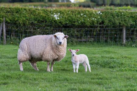 ewe: mother and newborn lamb standing in field