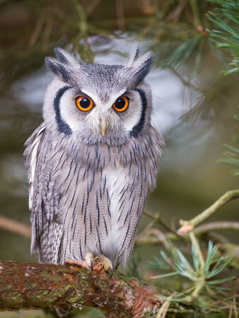 animal eye: white faced scops owl sitting in tree