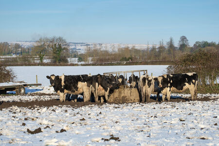 herd of holstein cattle eating haylage in snow covered field
