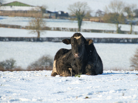 holstein cow lying in a snow covered field Stock Photo