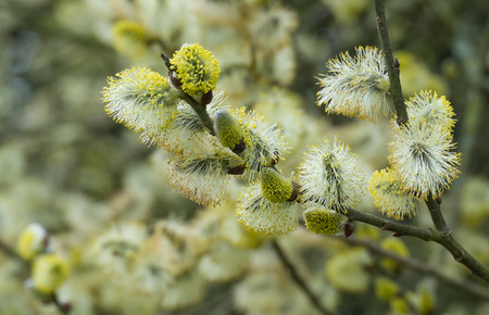 close up of male catkins on willow tree in spring