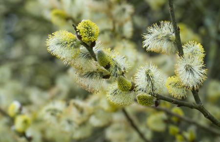 Nahaufnahme von männlichen Kätzchen auf Weidenbaum im Frühjahr
