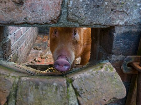 rare breed tamworth pig looking through hole in pigsty wall