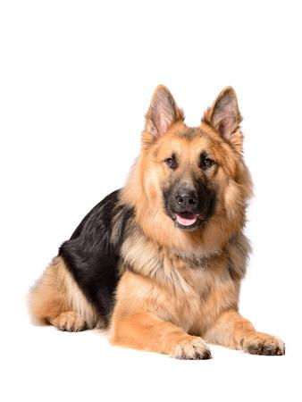 langhaarigen Deutsch Schäferhund liegend auf weißem Hintergrund