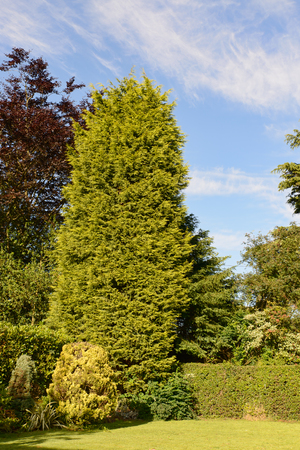 a tall cupressa leylandii tree often cause of neighbour diputes