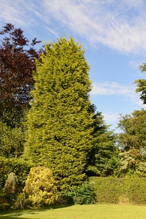 ein großer Cupressa leylandii Baum verursachen oft von Nachbarn diputes