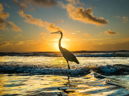 Great Blue Heron amidst sunrise at The Cocoa Beach Pier. Stockfoto