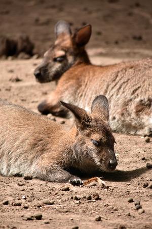 bennett: Bennett Wallaby kangaroo Stock Photo