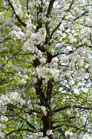 vertical format: Blossoming pear tree with white flowers and black trunk, vertical format