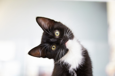 Black and white tuxedo kitten with yellow eyes looking at camera