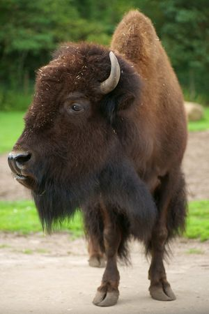 Buffalo standing