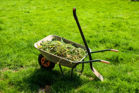 Wheelbarrow filled with weed in garden photo