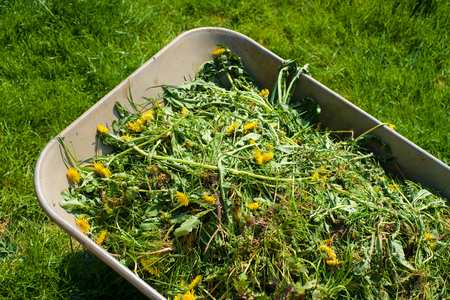 Wheelbarrow filled with weed in garden