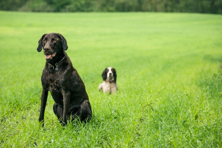 Two hunting dogs on a green field Stock Photo
