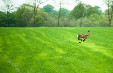Deer running across a field in daytime