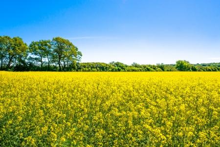 背景の木と黄色い菜の花フィールド