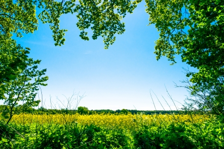 Jaune champ de colza avec des arbres � l'avant-plan Banque d'images