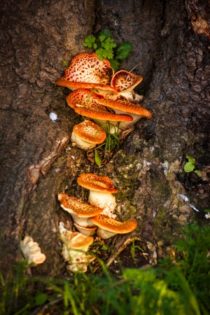 Magic mushrooms attaced to a tree photo