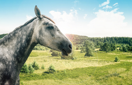 Portrait of a grey horse isolated on white photo
