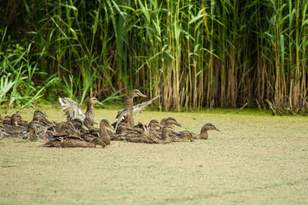 Lake pond with wild ducks and algae Stock Photo