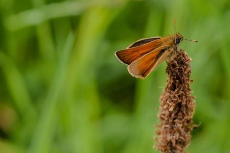 Venata moth relaxing on lake rushes