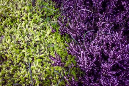 Bruy�re mauve avec un contraste vert sapin