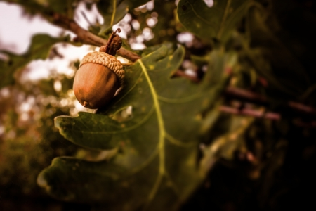 Brown acorn ripe hanging from a tree Stock Photo