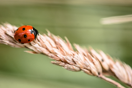 Red ladybug crawling on a straw