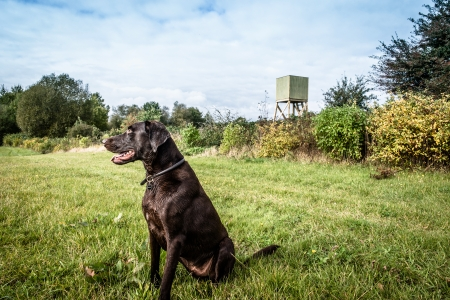 Hunting dog on a green field with a lookout