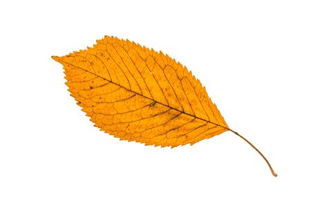 Fallen feuille d'automne isol� sur blanc