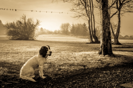 Cute Cocker Spaniel dog sitting on the lawn in misty weather Stock Photo