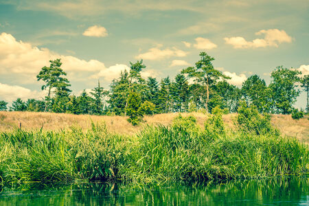 rushes: Pine trees by a river with rushes