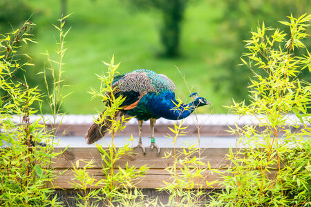 common peafowl: Beautiful peacock standing on a wood surface Stock Photo