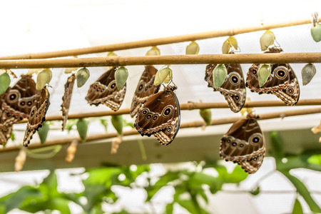 A Group of big blue butterflys hanging from a plant