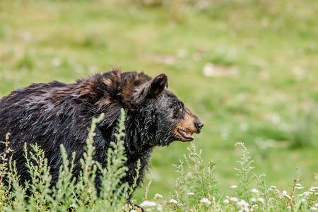 Big black american bear on green grass