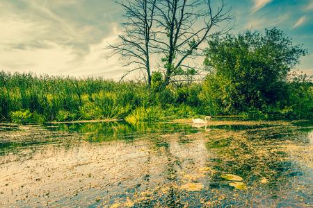 Swan swimming in a idyllic lake photo