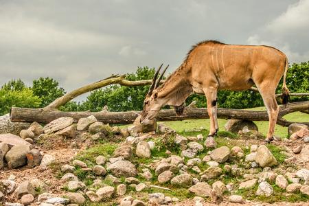 grassing: Eland antelope grassing on the african savannah